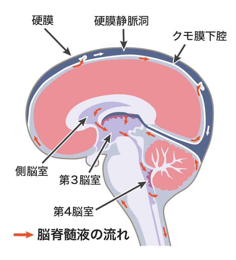 脳を覆う脳脊髄液と頭蓋についての知識:アトラアカデミー